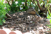 The Nesting Duck under the Rose