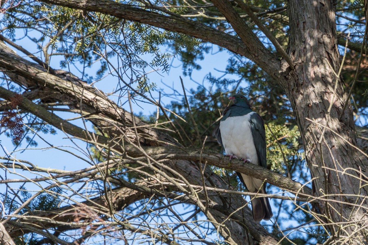 Kereru - Wood Pigeon - in the tree. There was another one a short distance away.