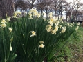 A bunch of White Jonquils