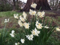 More white Jonquils