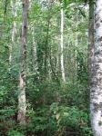 A stand of White Birch Trees