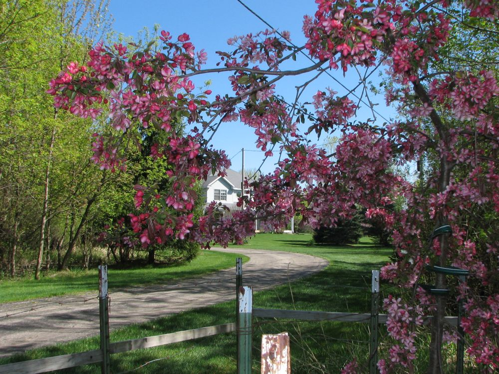 Weeping Crab Apple and House