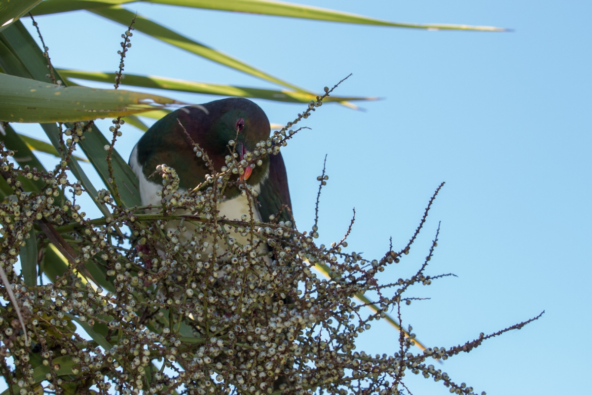 The Wood Pigeon and the Berries