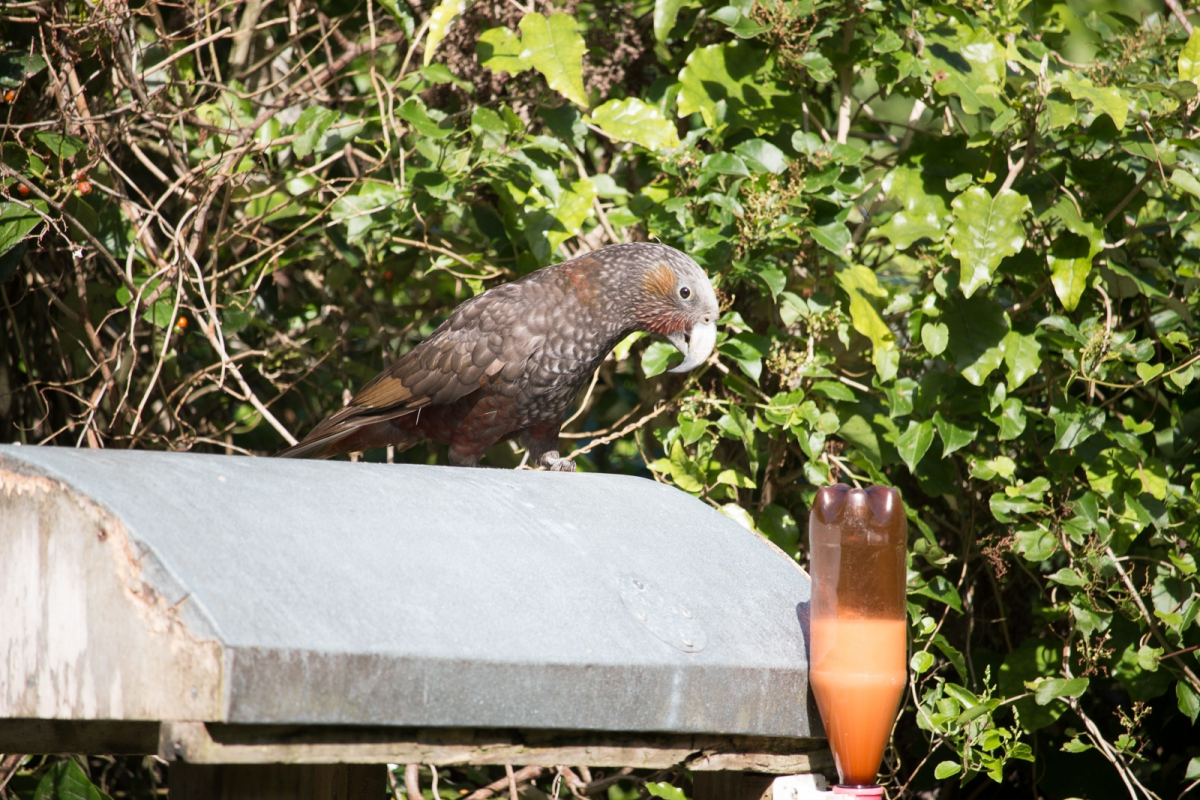 The Kaka eyeing up another nectar feeder