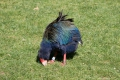 Takahe - Out in the Open