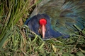 Your Closeup Mr Takahe