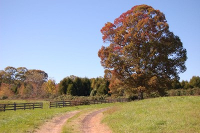 The Mighty Oak at Chancellorsville