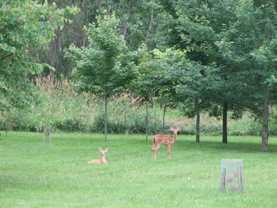 The Deer and The Maple Forest