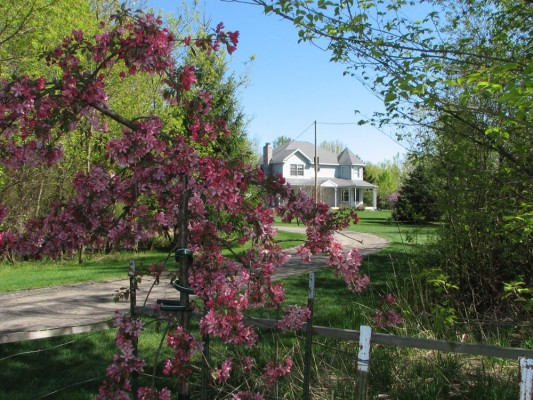 Weeping Crab Apple Tree